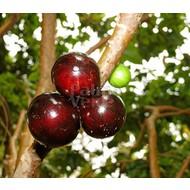 Eetbare Tuin Myrciaria cauliflora - Jabuticaba - Guapuru - Braziliaanse druivenboom