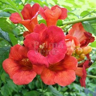 Bloemen-flowers Campsis tagliabuana Madame Galen - Trompetklimmer - Trompetbloem