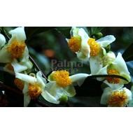Eetbare tuin-edible garden Camellia sinensis - Theeplant - Groene thee - Oolong