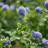 Bloemen-flowers Ceanothus Italian Skies - Amerikaanse sering