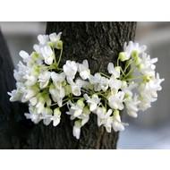 Bloemen Cercis canadensis Texas White - Judasboom