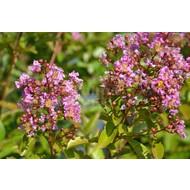 Bloemen Lagerstoemia indica