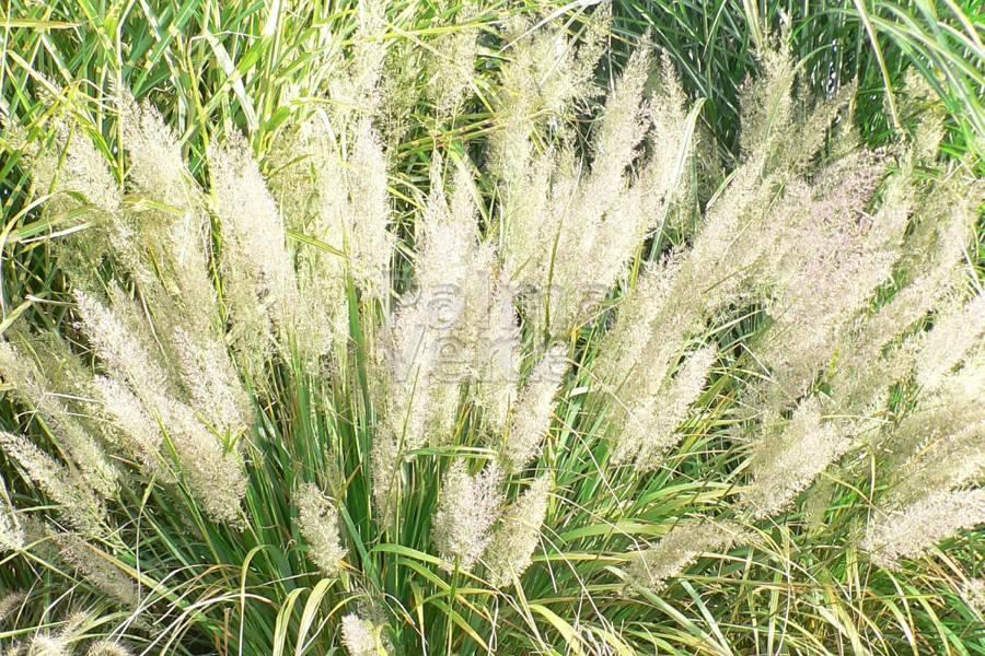 Gerelateerde producten  Calamagrostis Brachytricha