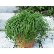 Siergrassen-ornamental grasses Carex caryophyllea The Beatles