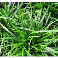 Siergrassen Carex foliosissima Irish Green - Zegge