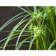 Siergrassen / ornamental grasses Carex grayi - Morgensterzegge