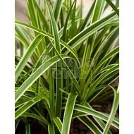 Siergrassen-ornamental grasses Carex morrowii Ice Dance - Zegge
