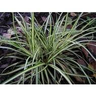 Siergrassen / ornamental grasses Carex morrowii Variegata - Zegge