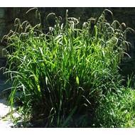 Siergrassen Carex pendula - Hangende zegge - Reuzenzegge