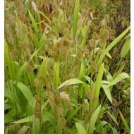 Siergrassen Chasmanthium latifolium - Plataargras