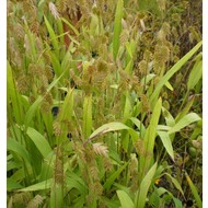 Siergrassen / ornamental grasses Chasmanthium latifolium - Plataargras