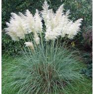Siergrassen-ornamental grasses Cortaderia selloana Pumila