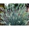 Siergrassen-ornamental grasses Festuca glauca Elijah Blue