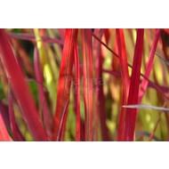 Siergrassen Imperata cylindrica Red Baron - Japans bloedgras