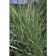 Siergrassen-ornamental grasses Leymus arenarius - Strandhaver