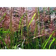 Siergrassen-ornamental grasses Miscanthus sinensis Malepartus - Prachtriet - Japans sierriet