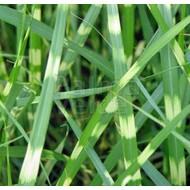 Siergrassen-ornamental grasses Miscanthus sinensis Punktchen