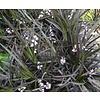 Siergrassen-ornamental grasses Ophiopogon planiscapus Niger - Zwart gras