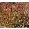 Siergrassen Panicum virgatum Shenandoah - Vingergras