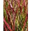 Siergrassen-ornamental grasses Panicum virgatum Shenandoah - Vingergras