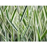 Siergrassen Phalaris arundinacea Picta - Kanariegras - Rietgras