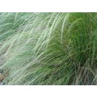 Siergrassen Stipa tenuissima Pony Tails - Vedergras