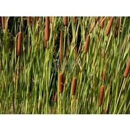 Siergrassen Typha latifolia - Grote lisdodde