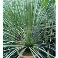 Woestijn Dasylirion serratifolia