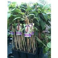 Eetbare tuin / edible garden Actinidia deliciosa Jenny - Kiwi