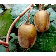 Eetbare Tuin Actinidia deliciosa Hayward - Kiwi