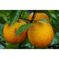 Eetbare Tuin Citrus sinensis - Sinaasappelboom