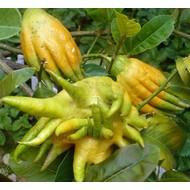 Eetbare Tuin Citrus medica Hand of Buddha - Hand van Boeddha