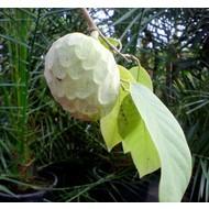 Eetbare tuin-edible garden Annona cherimola - Cherimoya