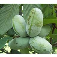 Eetbare tuin / edible garden Asimina triloba - Paw paw boom