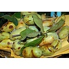 Eetbare Tuin Asimina triloba - Paw paw boom