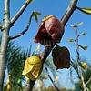 Eetbare tuin-edible garden Asimina triloba - Paw paw boom