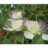 Eetbare tuin / edible garden Capparis spinosa - Kappertjesplant