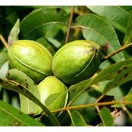 Eetbare Tuin Carya illinoinensis - Pecannoot