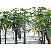 Eetbare Tuin Carica pentagona - Vasconcellea x heilbornii - Babaco papaya