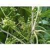 Eetbare tuin-edible garden Casimiroa edulis - Witte zapote