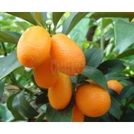 Eetbare Tuin Citrus fortunella - Citrus kumquat