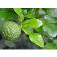 Eetbare Tuin Citrus hystrix - Djeroek poeroet - Kaffirlimoen