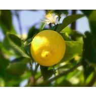 Eetbare Tuin Citrus limonum - Citrus limon - Citroen