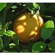 Eetbare Tuin Citrus paradisi - Citrus pompelmo