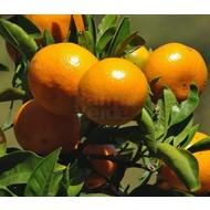 Eetbare tuin-edible garden Citrus reticulata - Citrus mandarino - Mandarin tree