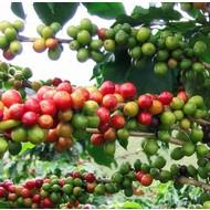 Eetbare Tuin Coffea arabica - Koffieplant