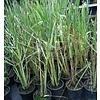 Eetbare Tuin Cymbopogon citratus - Citroengras - Lemongrass