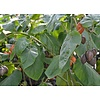 Eetbare tuin-edible garden Cyphomandra betacea - Solanum betaceum - Tamarillo - Boomtomaat