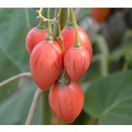 Eetbare Tuin Cyphomandra betacea - Solanum betaceum - Tamarillo - Boomtomaat