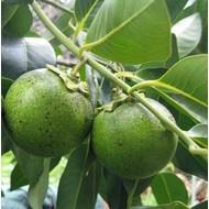Eetbare tuin-edible garden Diospyros digyna - Zwarte zapote - Caca poule